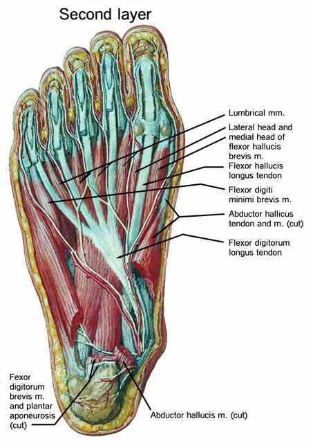 Stretched flexor tendon 4ch
